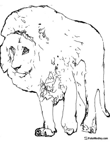 A coloring page of a large lion walking and looking forward.